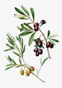 Gałąź drzewa oliwnego