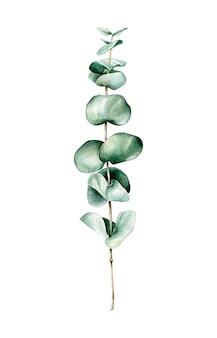 Gałąź eukaliptusa akwarela na białym tle