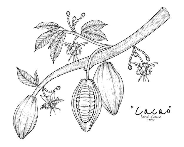 Gałąź kakao z owocami, liśćmi i kwiatami ręcznie rysowaną ilustracją