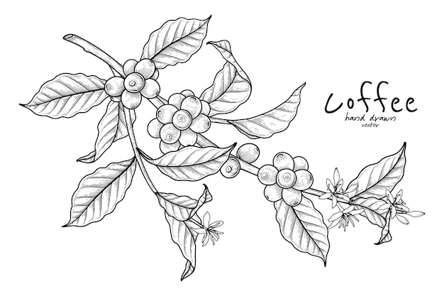 Gałąź kawy z owocami i kwiatami ręcznie rysowana ilustracja