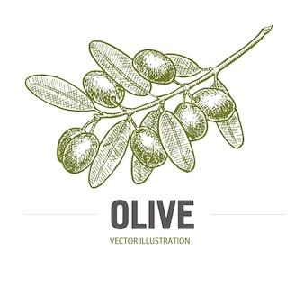Gałązka oliwna z szkicem oliwki. logo gałązki oliwnej. oliwki ręcznie rysowane na białym tle, vintage drzewo oliwne z liśćmi nad. kuchnia włoska.