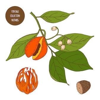 Gałka muszkatołowa. vintage botanika wektor ręcznie rysowane ilustracja na białym tle. styl szkicu zioła kuchenne i przyprawy.