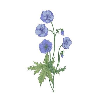 Geranium łąka Lub Kwiaty Bill żurawia Na Białym Tle Premium Wektorów