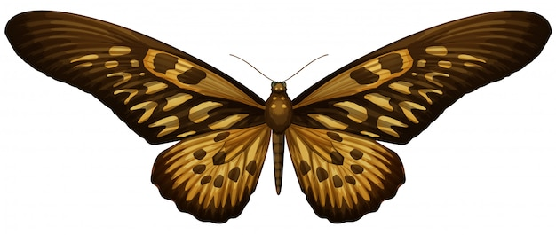 Giant african swallowtail - papilio antimachus