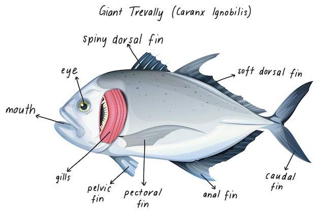 Giant trevally (caranx ignobilis)