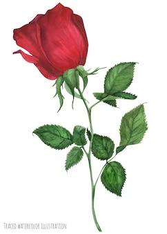 Głęboko czerwona róża ogrodowa