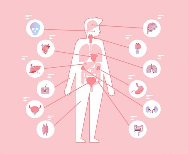 Główne narządy wewnętrzne ludzkiego ciała w strukturze anatomicznej