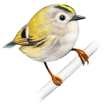 Goldcrest ręcznie rysowane ptak akwarela kolorowe kredki