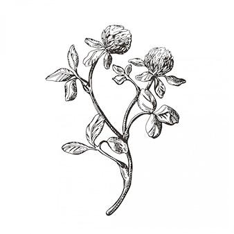 Grafika wektorowa gałęzi koniczyny. ilustracja w stylu vintage.