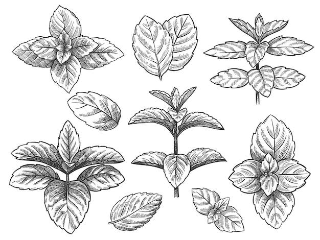 Grawerowane liście mięty. naszkicuj ziele mięty pieprzowej, roślinę mięty zielonej. liść mentolu retro ręcznie rysowane wektor botaniczny ilustracja na białym tle. zioło lecznicze do celów kulinarnych lub napojów i medycyny.