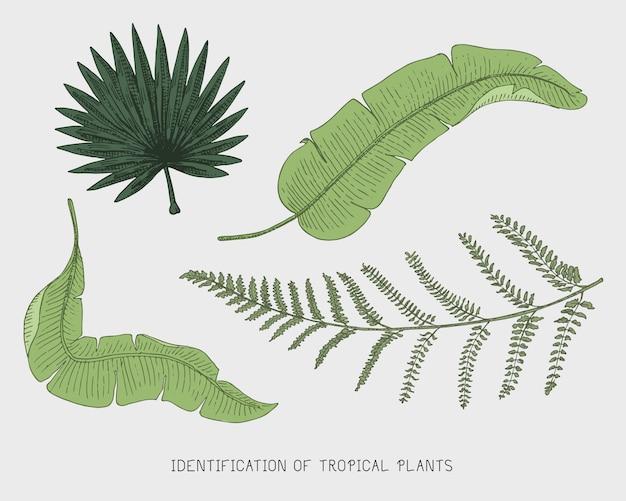 Grawerowane, ręcznie rysowane liście tropikalne lub egzotyczne, liście różnych roślin o wyglądzie vintage. monstera i paproć, palma z zestawem botaniki bananowej
