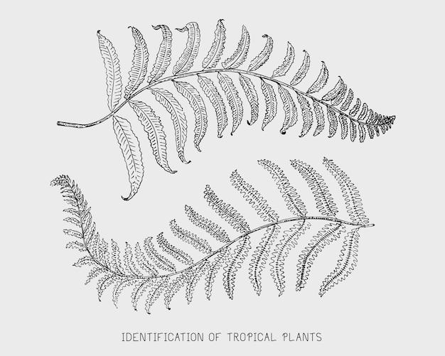 Grawerowane, ręcznie rysowane tropikalne lub egzotyczne liście, liście różnych roślin wyglądających vintage. monstera i paproć, palma z zestawem botaniki bananowej