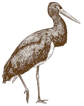 Grawerowanie ilustracja bociana czarnego