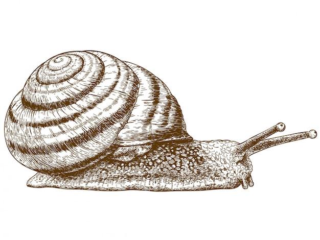 Grawerowanie ilustracja ślimaka