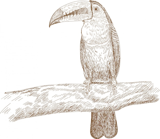Grawerowanie rysunek ilustracja kila zapowiadane tukan ramphastos sulfuratus