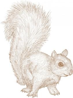 Grawerowanie rysunek ilustracja wiewiórki