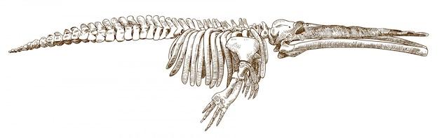 Grawerowanie rysunku ilustracji wieloryba cetotherium