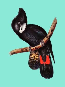Great-billed black cockatoo illustration