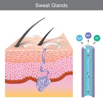 Gruczoły potowe. ilustracja przedstawiająca strukturę ludzkich gruczołów potowych pod warstwami skóry.