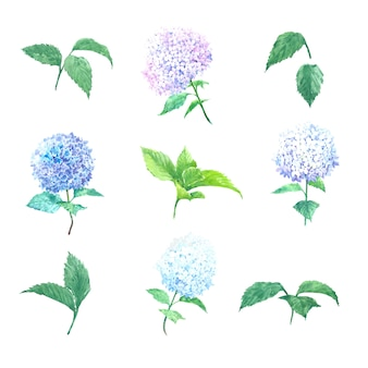 Hortensja akwarelowa w wielu kolorach na białym do użytku dekoracyjnego.