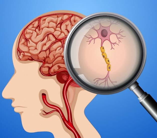 Human anatomy of neuron nerves mózgu