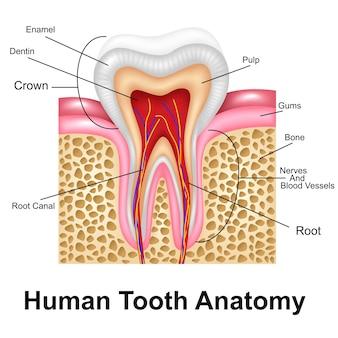 Human tooth detailed anatomy