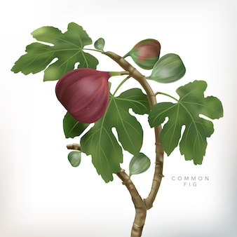 Ilustracja 3d pospolita figi drzewa ilustracja w białym tle