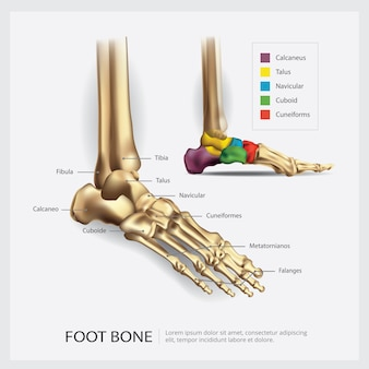 Ilustracja anatomii kości stopy