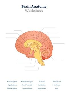 Ilustracja anatomii mózgu