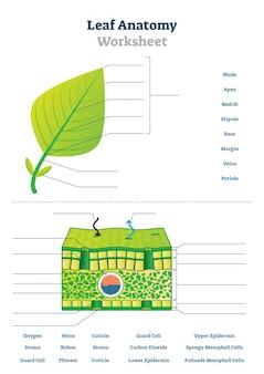 Ilustracja arkusza anatomii liści