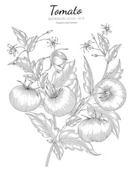 Ilustracja botaniczna pomidora.
