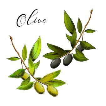 Ilustracja czarne i zielone gałązki oliwne na białym tle.