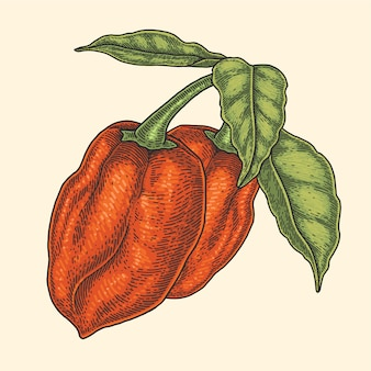Ilustracja czerwony habanero chili