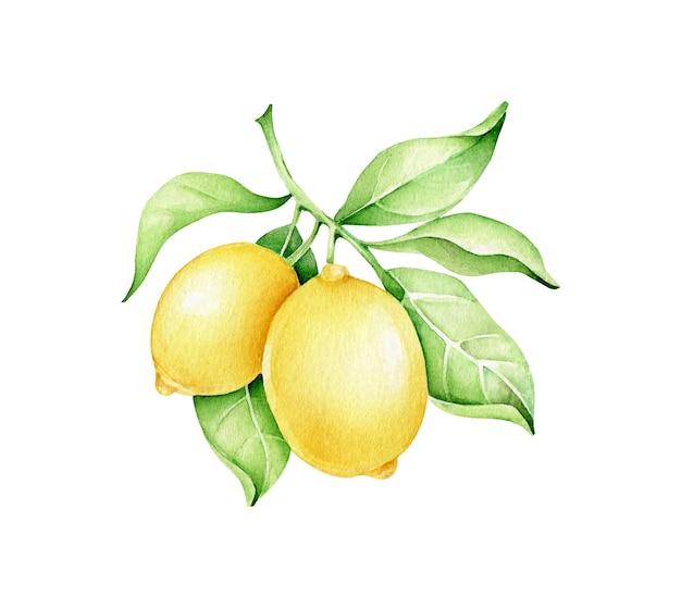 Ilustracja gałąź cytryny
