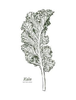 Ilustracja jarmuż