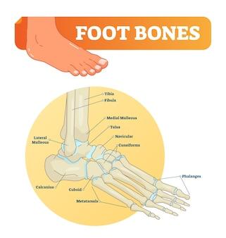Ilustracja kości stopy z ikonami. schemat medyczny z piszczelem, strzałką, kostką, kością skokową i łódeczkowatą.