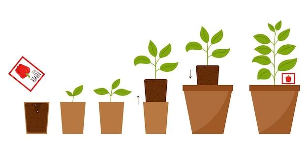 Ilustracja krok po kroku od sadzenia nasion do dorosłej rośliny w doniczce.