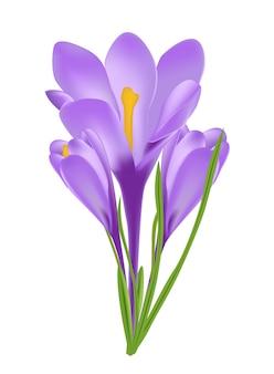 Ilustracja krokusa kwiat odizolowywający