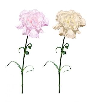 Ilustracja kwiat goździka na białym tle