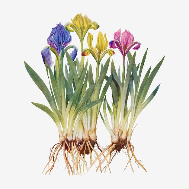Ilustracja kwiat irysa w stylu vintage