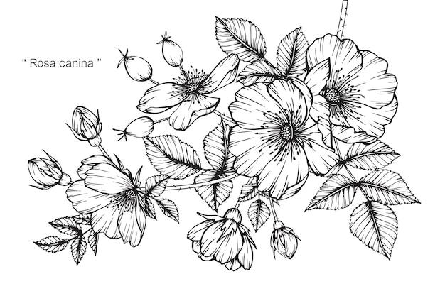 Ilustracja kwiat róży rysunku