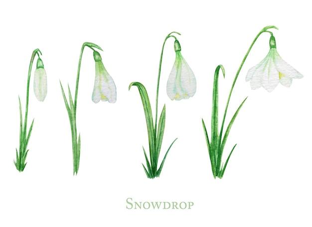 Ilustracja kwiaty białe przebiśnieg