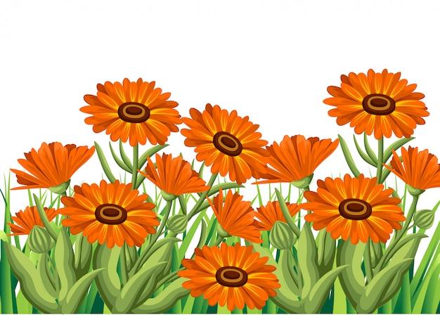 Ilustracja kwiaty nagietka na białym tle. zioła lecznicze w stylu szkicu