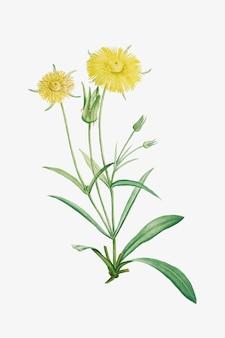 Ilustracja kwiaty stokrotki w stylu vintage