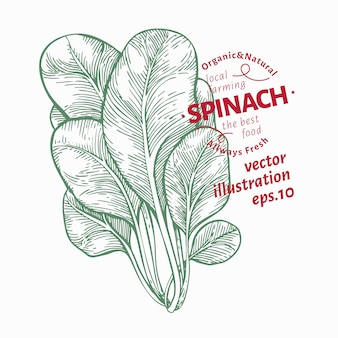 Ilustracja liści szpinaku. ręcznie rysowane ilustracja warzyw.