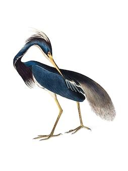 Ilustracja louisiana heron
