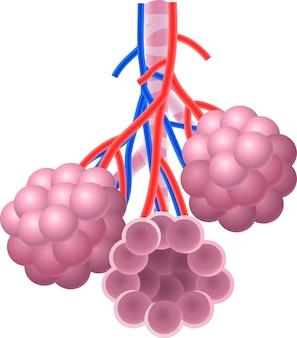 Ilustracja ludzkiej anatomii alveoli anatomia