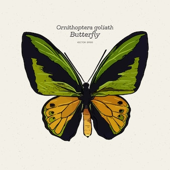Ilustracja motyl ornithoptera goliat