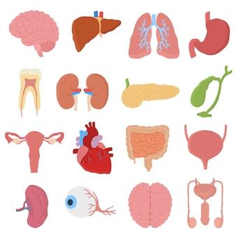Ilustracja narządów wewnętrznych.