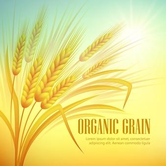 Ilustracja pola pszenicy. ziarno organiczne